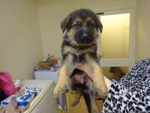 german shepherd akc pups
