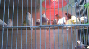 Lady Gouldians finches Birds blue yellow silver green