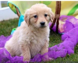 Golden Retriever Puppies for re-homing?