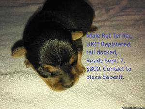 Male Rat Terrier Puppy