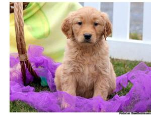 Nice golden retriever puppies for adoption?