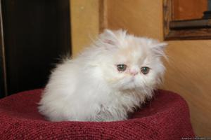 Persian kittens for adoption
