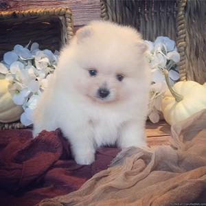 Affectionate Pomeranian puppies available now...