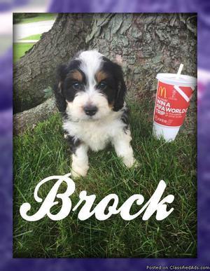 Brock: Male Mini Bernedoodle