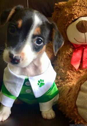 Adorable Jack Russell/Rat Terrier puppies
