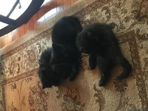 Free kittens to good home. Litter trained