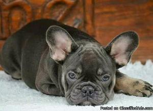 Gorgeous French Bulldog puppies for rehoming