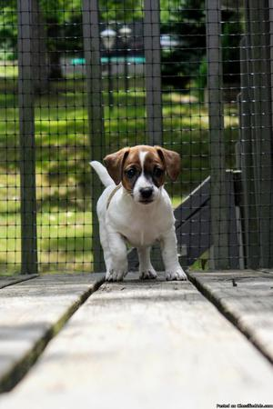 CKC Registered Female Jack Russell Terrier Puppy