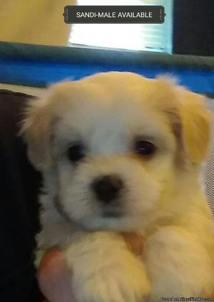 Maltier Mix Puppies