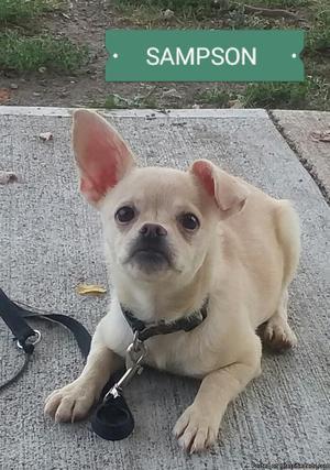 Pug Mix Male