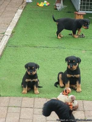 AKC German Rottweiler Puppies looking for new homeCALL OR