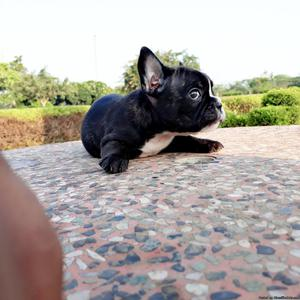 French bulldog puppies for sell