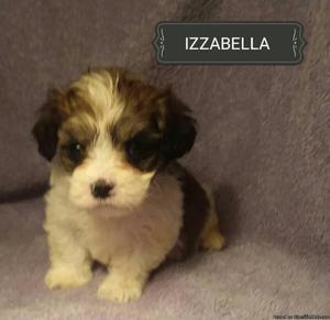 Maltier Mix Female Pup