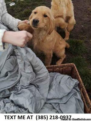 4FRIENDLY%100 Golden retriever puppies for sale