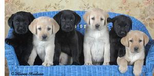 Active vmnb Labrador Retriever puppies for sale