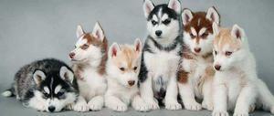 Active vmnb Siberian Husky puppies for sale