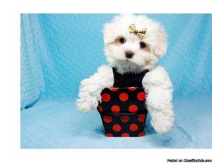 Cutest Maltese Puppy ever!!