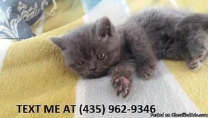 Dependable100%/ Adorable sweet Scottish fold kittens for