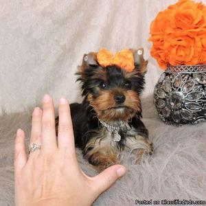 FZES delightful Yorkshire Terrier Puppies