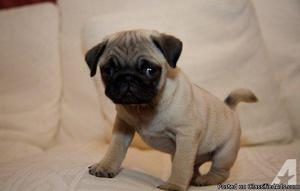GOOD LOOKING M/F PUG PUPPIES Available For Sale