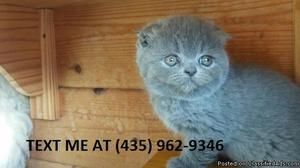 Giving100%/ Adorable sweet Scottish fold kittens for sale