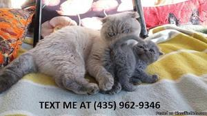 Gleaming%100/ Adorable sweet Scottish fold kittens for sale