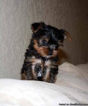 GtY Sweet and Caring Yorkie puppies ready now for new homes.