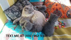 Insightful100%/ Adorable sweet Scottish fold kittens for