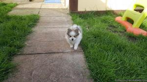 JKHKFGV Tiny M/F Pomeranian Pups For Sale