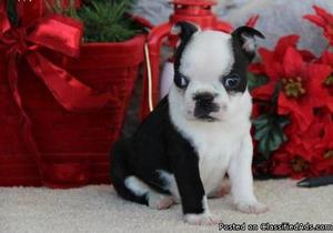 Kind Border Terrier Puppies