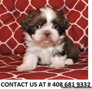 LOVELY M/F SHIH TZU PUPPIES Available For Sale,