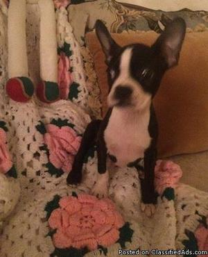 Lovely Boston terrier puppies need new homes