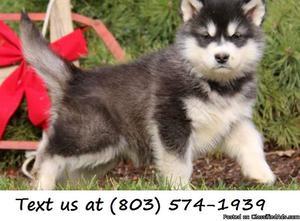 Moneta FHUK %&^ Alaskan Malamute Puppies