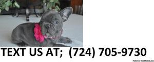 Npa M/F Akc French Bulldog Puppies Available For Sale
