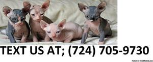 Npa M/F Sphynx Kittens Available For Sale