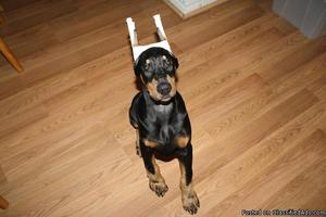 QXB 100% Pure Breed Doberman Puppies Available Now.