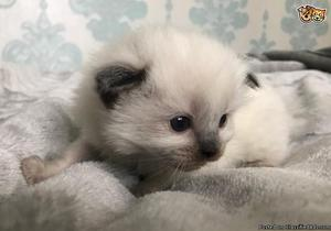 SWEET Ragdoll Kittens Ready For A New Home..