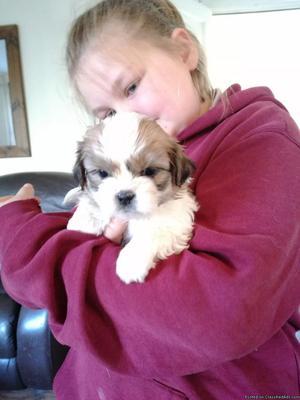 Shih Tzu 6 week puppies!!!