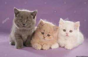 Show British Shorthair kittens for sale