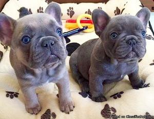 Show French Bulldog puppies for sale