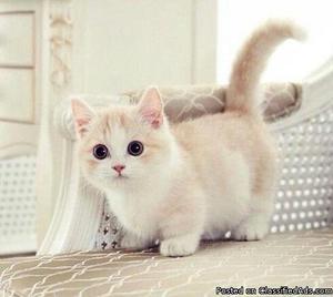 Show Munchkin kittens for sale