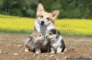 Show Pembroke Welsh Corgi puppies for sale