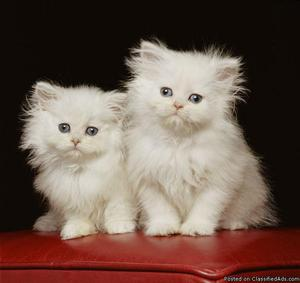 Show Persian kittens for sale