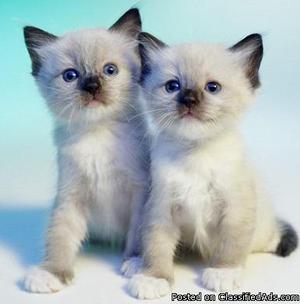 Show Siamese kittens for sale