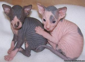 Show Sphynx kittens for sale