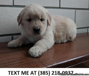 TRUSTMATE%100 Golden retriever puppies for sale