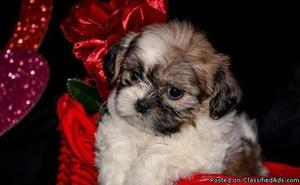 VFDSB Male AND Female ACA Shih tzu puppies