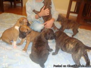 XQN Pure Breed Boxer Puppies For Sale Now.