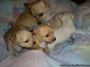 XYJ Beautiful Male and Female Chihuahua Puppies.