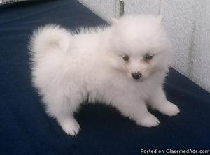 bvncyu _(%!*() lovely white pomeranian puppies available